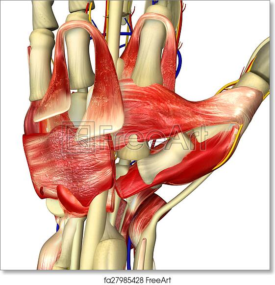 Free Art Print Of Hand Anatomy The Hand Is An Intricately Complex