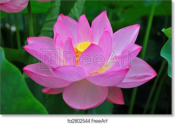 Free art print of lotus flower in summer lotus flower in full bloom free art print of lotus flower in summer mightylinksfo