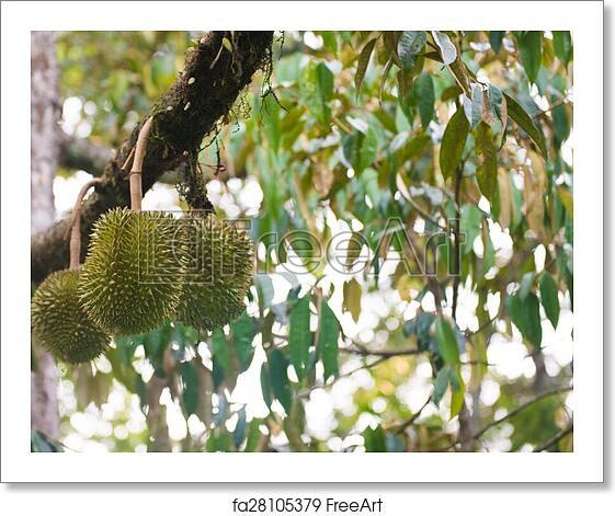 Free art print of Durian on the durian tree in garden