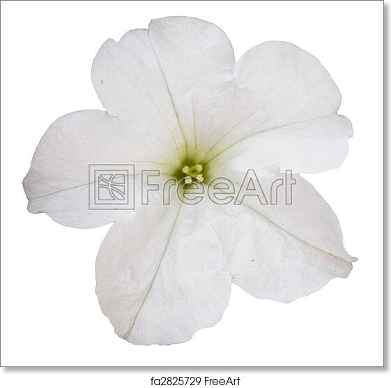 Free Art Print Of White Petunia Flower Isolated Over White