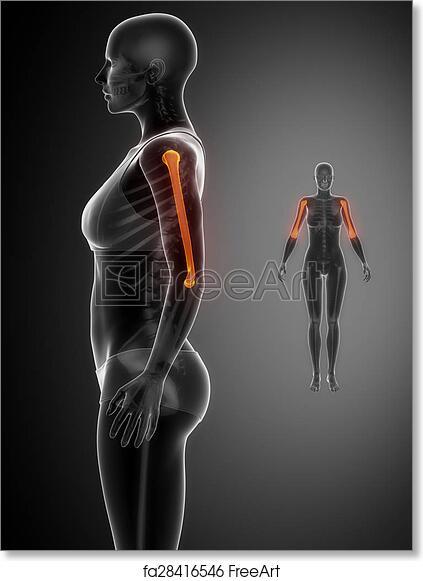 Free Art Print Of Humerus Black X Ray Bone Scan Freeart Fa28416546