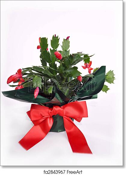 Christmas Cactus Plant.Free Art Print Of Christmas Cactus Flower Plant