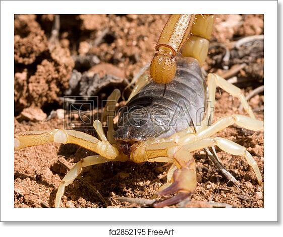 Free art print of Bark Scorpion