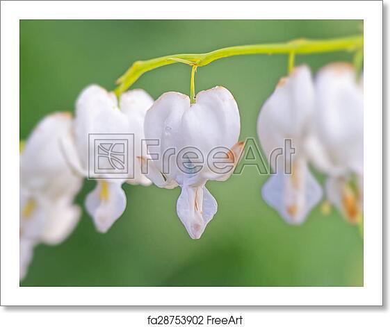 Free Art Print Of White Bleeding Heart Flowers Closeup White