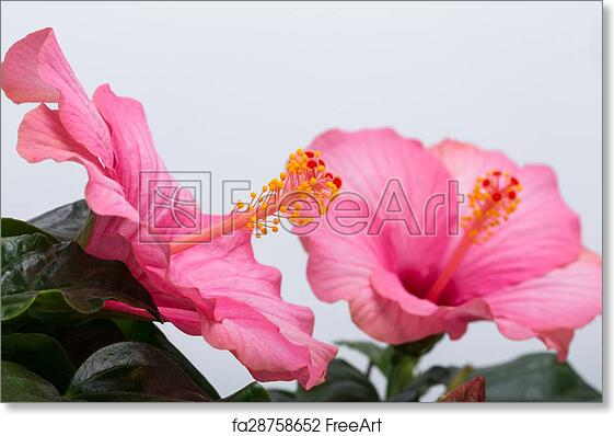 Free Art Print Of Pink Hibiscus Flower Isolated On White Background