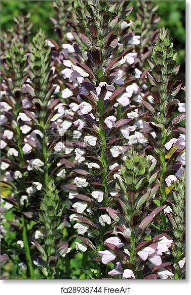 Free Art Print Of Acanthus Hungaricus Flowers Decorative Border