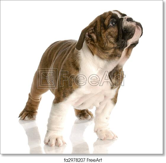 Free art print of English bulldog puppy standing looking up with reflection  on white background