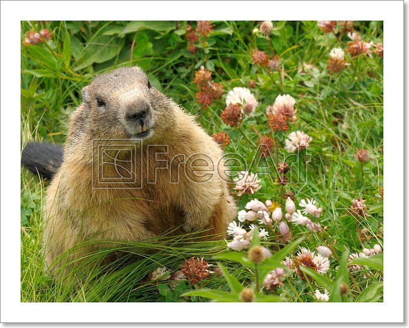 Groundhog In His Natural Habitat Art Print Home Decor Wall