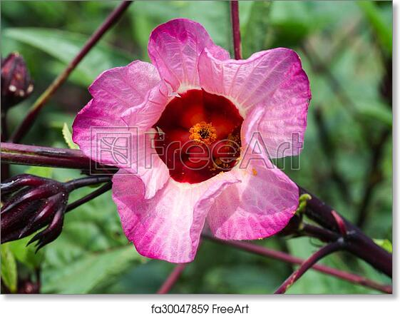 Free Art Print Of Hibiscus Sabdariffa Or Roselle Fruits Flower