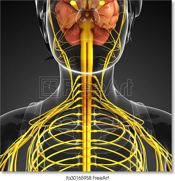 Free art print of female nervous system artwork illustration of free art print of female nervous system artwork ccuart Images
