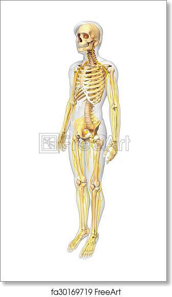 diagram of male skeleton free art print of male skeleton and nervous system artwork  free art print of male skeleton and