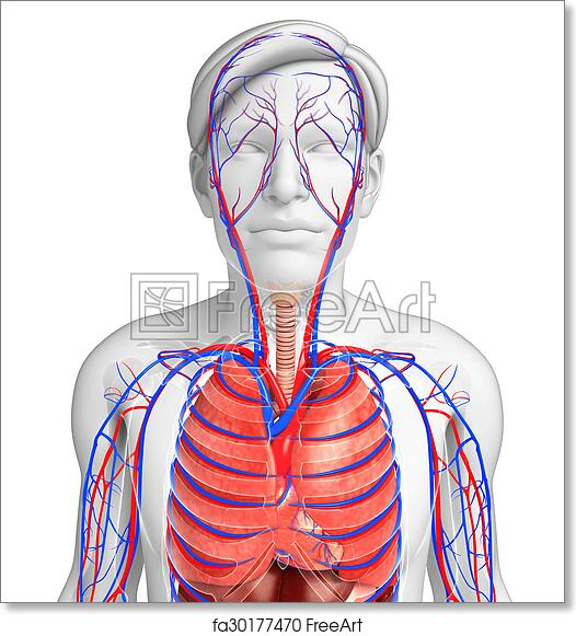 Free Art Print Of Male Respiratory System Illustration Of Male