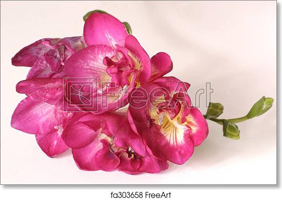 Free art print of pink freesia details of a pink freesia flower free art print of pink freesia mightylinksfo
