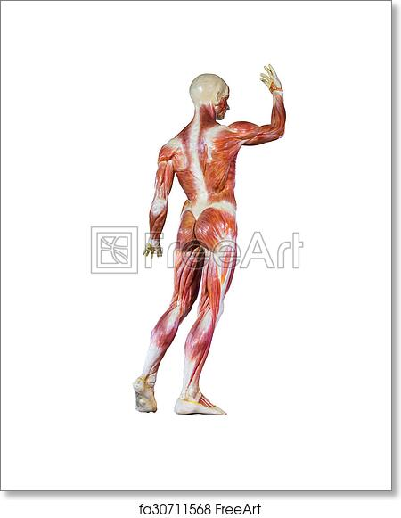 Free Art Print Of Human Anatomy Mannequin On White Isolate