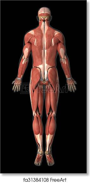 Free art print of Muscular system anatomy posterior view | FreeArt ...