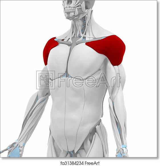 Free Art Print Of Deltoid Muscles Anatomy Map Freeart Fa31384234