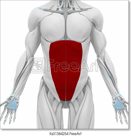 Free Art Print Of External Abdominal Oblique Muscles Anatomy Map