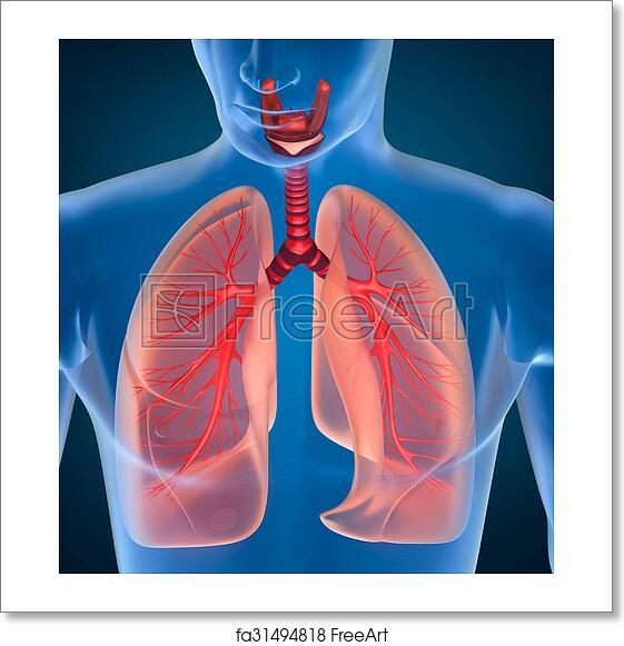 Free Art Print Of Anatomy Of Human Respiratory System Freeart