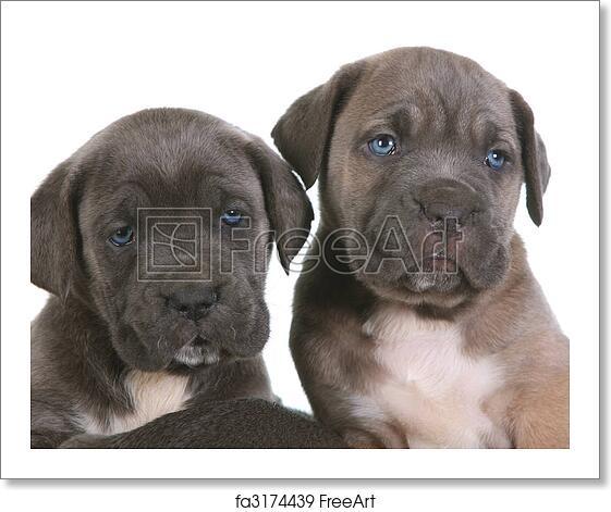 Free art print of Puppy italian mastiff cane corso
