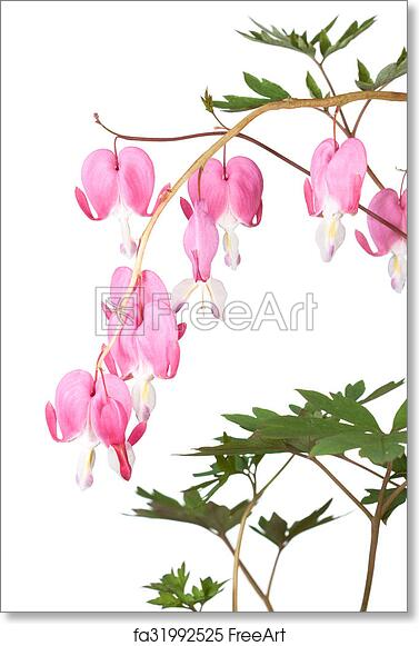 Free art print of bleeding hearts pink dangling bleeding hearts pink dangling bleeding hearts cascade downward on a yellow vine the green leaves frame the fushsia colored petals of the heart shaped flowers mightylinksfo