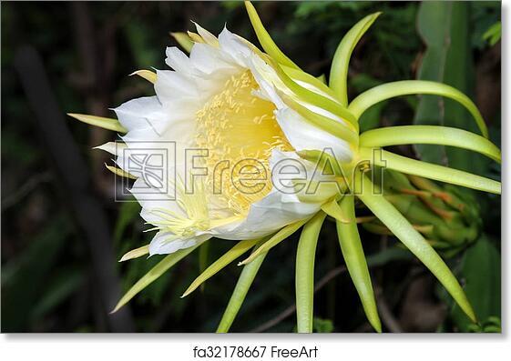 Free art print of dragon fruit flower large beautiful white dragon free art print of dragon fruit flower mightylinksfo