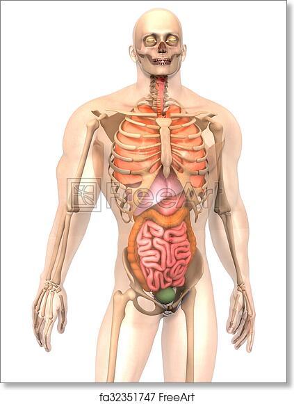 Free art print of Human Anatomy visualization - Internal Organs. 3D ...