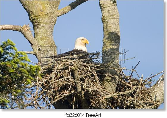 Free Art Print Of Bald Eagle In Nest An American Bald Eagle Sitting