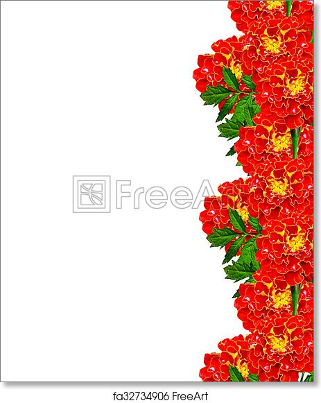 Free Art Print Of Marigold Flowers Isolated On White Background