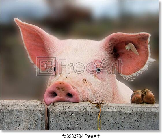 free art print of cute young pig young cute pig overlooking a