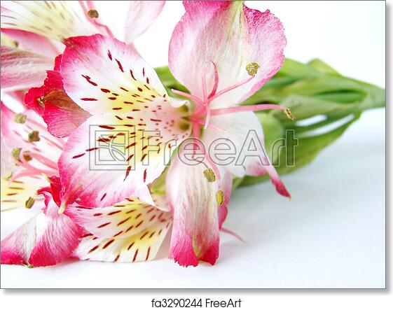 Free art print of closeup of white and pink alstroemeria flower free art print of closeup of white and pink alstroemeria flower mightylinksfo
