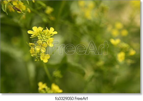 Free art print of mustard flower sinapis aiba yellow flowers and free art print of mustard flower sinapis aiba yellow flowers and plant nature mightylinksfo