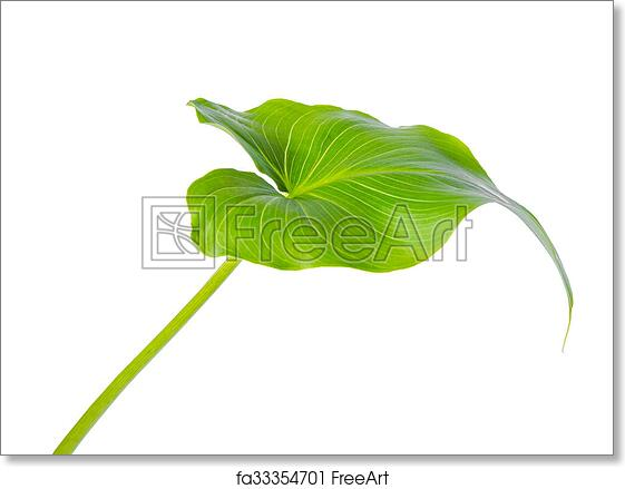 Free Art Print Of Leaf Of Calla Lily Flower Is Isolated On White