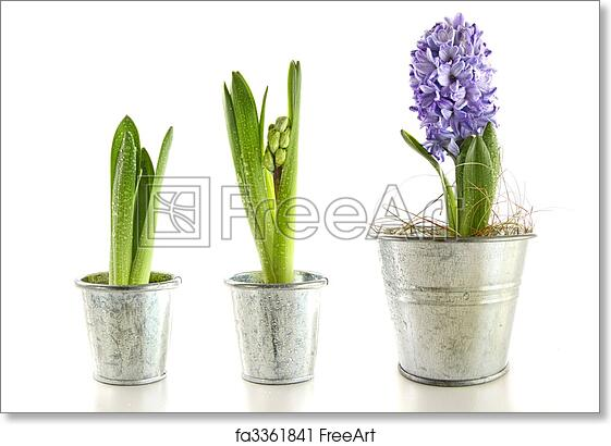 Superieur Free Art Print Of Purple Hyacinth In Garden Pots On White