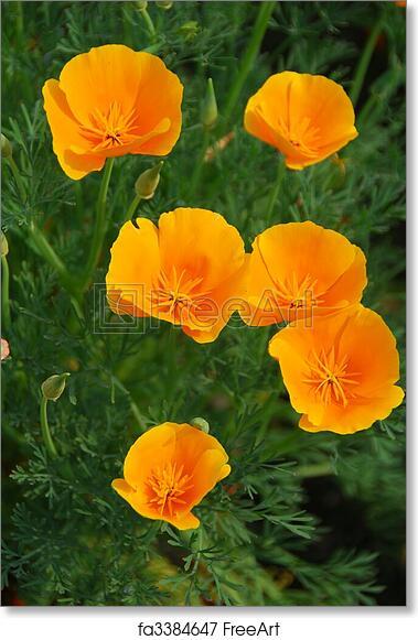 Free art print of yellow california poppy flower isolated shot of a free art print of yellow california poppy flower mightylinksfo