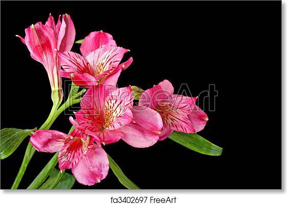 Free Art Print Of Peruvian Lily Alstroemeria Peruvian Lily Alstroemeria On A Black Background Freeart Fa3402697