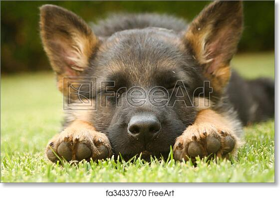 Free Art Print Of German Shepherd Puppy Sleeping On A Warm Summer