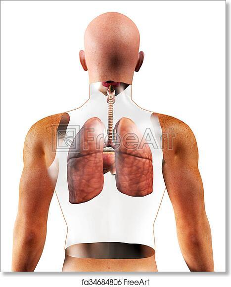 Free art print of 3d Human Respiratory System. 3d Human Respiratory ...