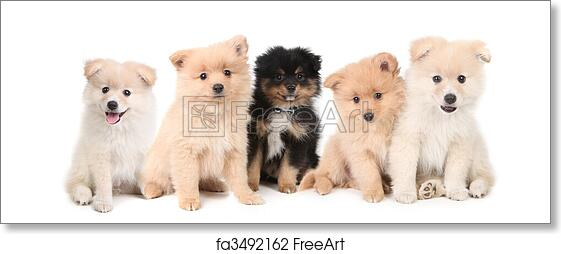 Free Art Print Of Pomeranian Puppies Lined Up On White Background