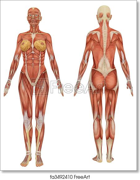 Free Art Print Of Front And Rear View Of Female Muscular Anatomy