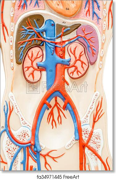 Free art print of Synthetic human torso model with organs. Synthetic ...