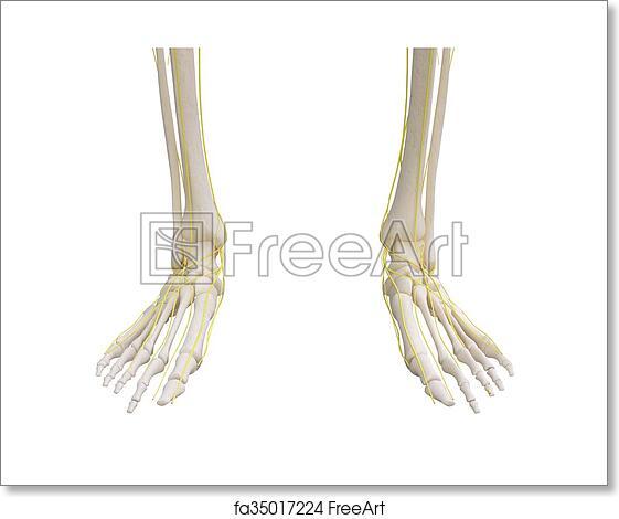 Free art print of Feet skeleton with nervous system. Feet skeleton ...
