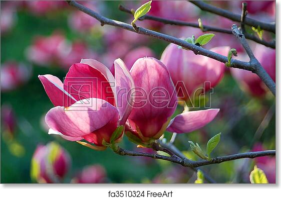 Free art print of bloomy magnolia tree with big pink flowers free art print of bloomy magnolia tree with big pink flowers freeart fa3510324 mightylinksfo