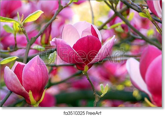 Free art print of bloomy magnolia tree with big pink flowers free art print of bloomy magnolia tree with big pink flowers freeart fa3510325 mightylinksfo