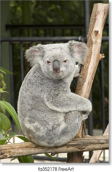 Free Art Print Of A Cute Koala Bear At Australia Zoo Australia Zoo