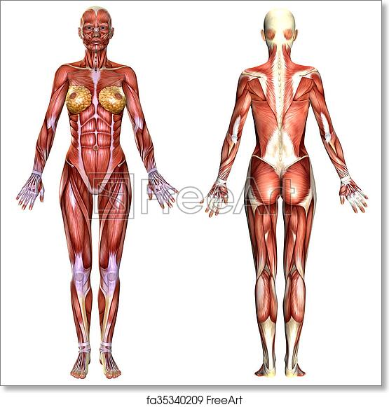 Free Art Print Of 3d Female Body Anatomy 3d Female Body Anatomy