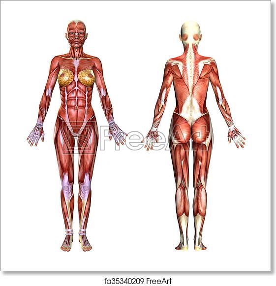 Free Art Print Of 3d Female Body Anatomy 3d Female Body Anatomy Isolated On White Freeart Fa35340209