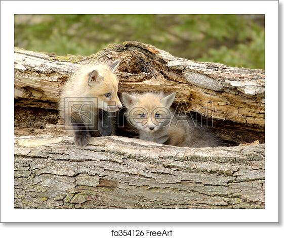 Free Art Print Of Red Fox Pups Duo Vulpes Vulpes A Pair Of Red Fox Pups Vulpes Vulpes Focus Pup On The Right Taken At A Game Farm 12mp Camera Freeart