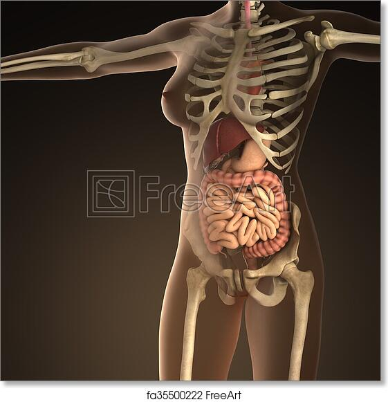 Free Art Print Of Anatomy Of Human Organs With Bones In Transparent
