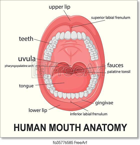 Free Art Print Of Human Mouth Anatomy Vector Illustration Of Human