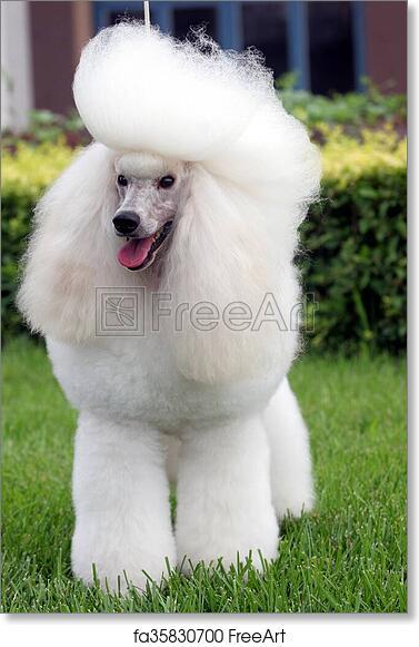 15e18165b250 Free art print of Poodle dog. The purebred big poodle dog portrait in  outdoors | FreeArt | fa35830700
